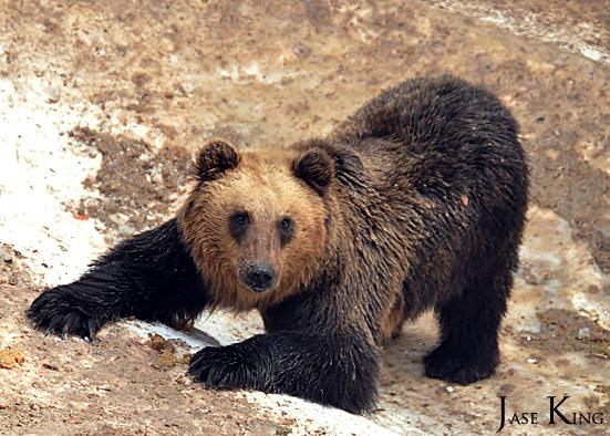 Japan Bears